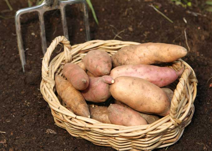 картошка-скороспелка